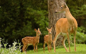 Why Did Texas Town Trap, Kill 131 Deer?