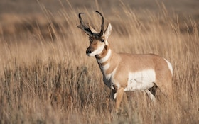 Demand For Pronghorn Hunting Licenses High In North Dakota