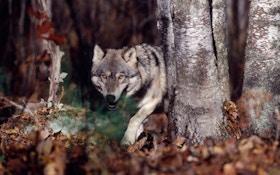 Alaska Curtails Wolf Harvest