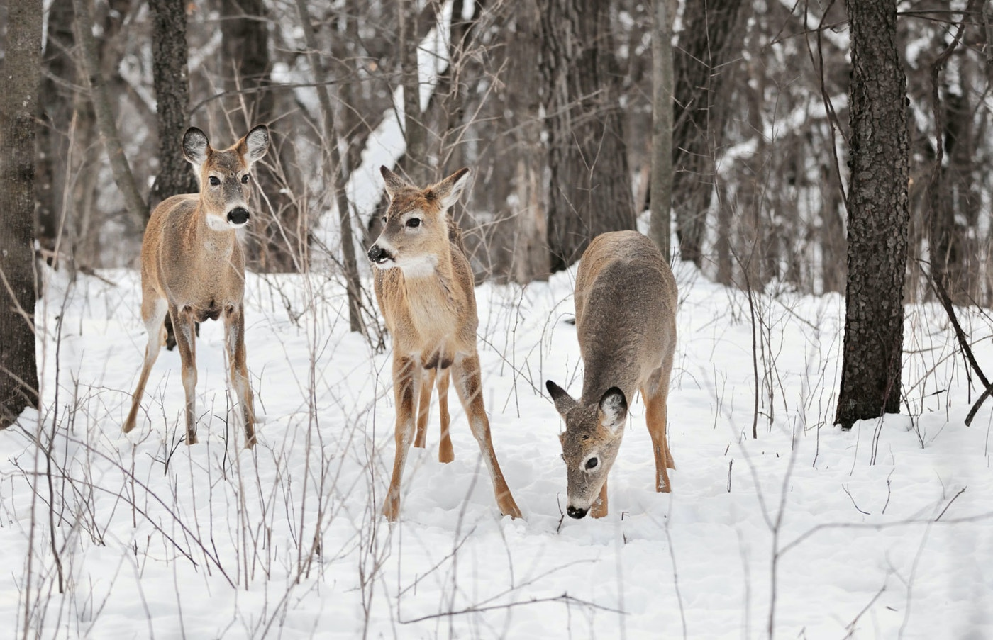 How Deer Survive Winter Weather | Grand View Outdoors