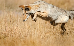 Michigan Hunters Can Now Bag Coyotes All Year