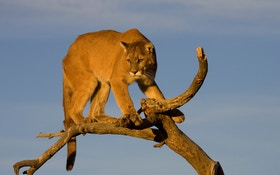 Nonresidents Excluded From Black Hills Mountain Lion Season