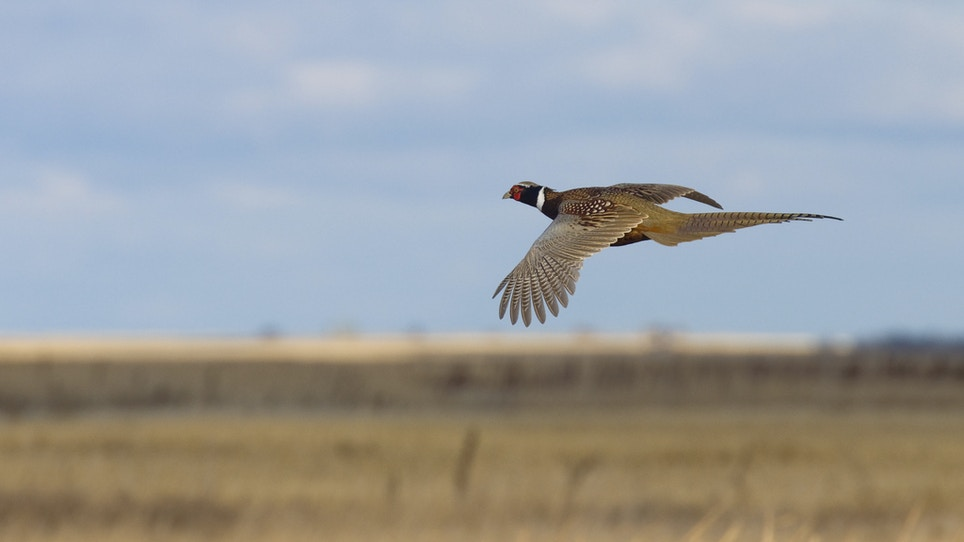 Pheasant Hunters Spend $170 Million In South Dakota In 2015