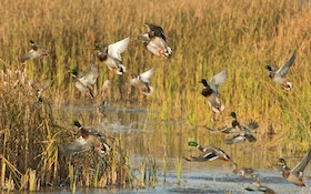 Survey Shows Strong Duck Population For Next Season