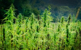 High Times: Deer Binge On Oregon Hemp Farm