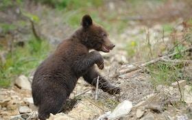 Bear Kill Policy Sparks Debate In Arizona