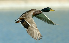 Delta Waterfowl Forecasts A Reduced Fall Duck Flight