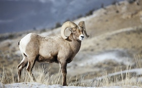 Idaho Bighorn Sheep Poacher Gets Lifetime Ban