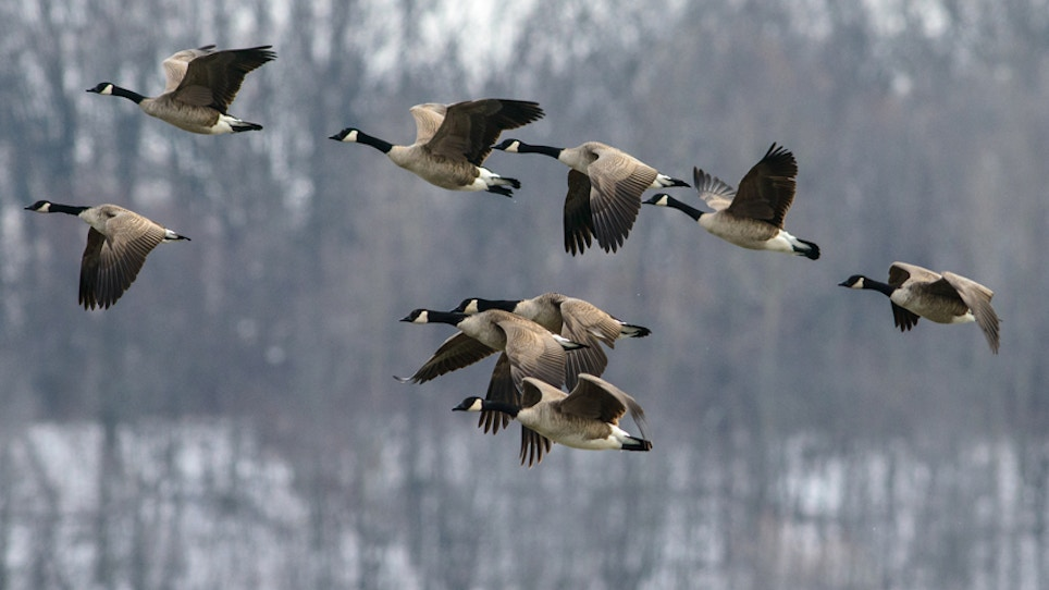 New Iowa City Ordinance Allows Goose Hunting Within City Limits