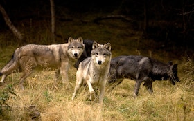 Wolf Hunting Near Yellowstone Closed