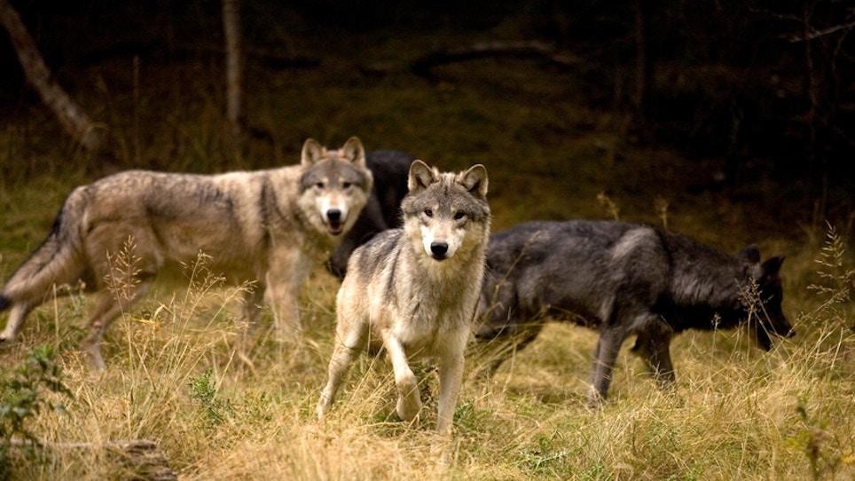 Wolf Hunting Near Yellowstone Closed