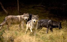 Sportsmen's Alliance Presents Argument In Wolf Appeal