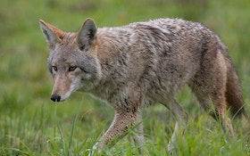Officials: Electric Fence For Coyotes Must Come Down