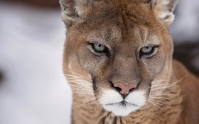 New Jersey Told Cougars Will Control Deer Population