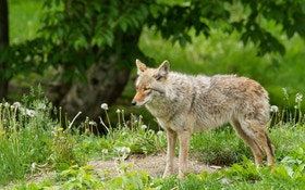 How To Trap Summer Coyotes on Your Land