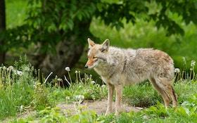 Coyote Attacks Force Closure Of California Park