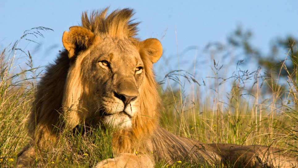 Lions Eat Poachers and All I Can Do is Laugh