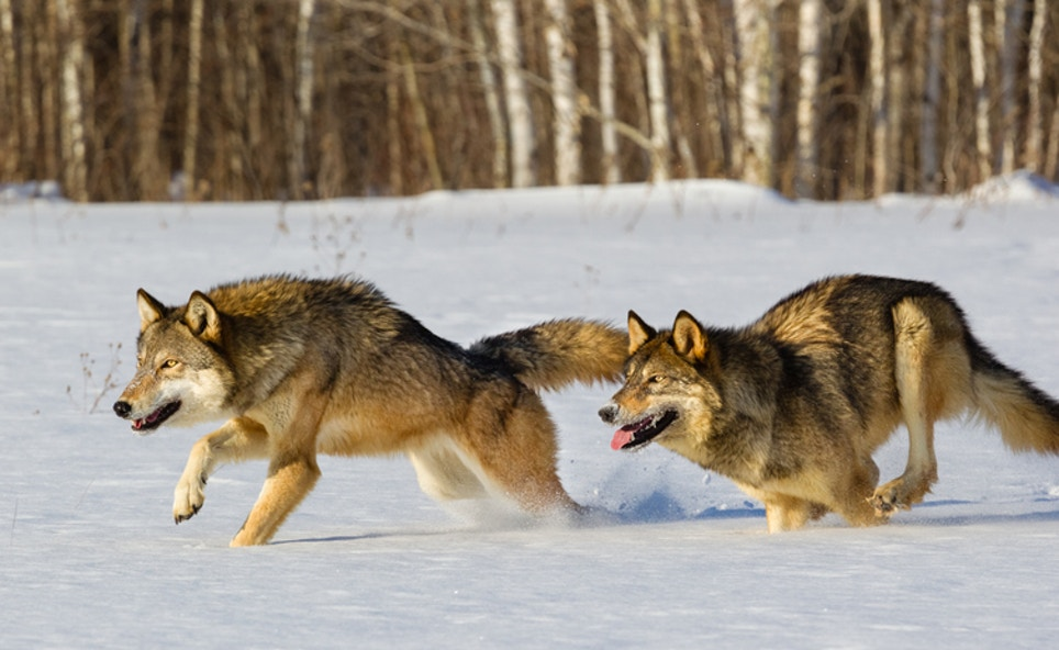 Wisconsin Says 'Yes' to Science-Based Wolf Management