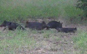 Hunters Get To Root Of Feral Pig Problem