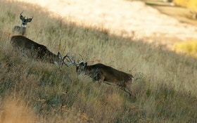Whitetail Deer Body Language