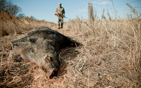 Take Precautions When Cleaning and Butchering Wild Hogs