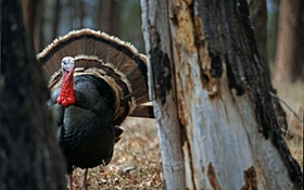 Your guide to hunting the Merriam's turkey