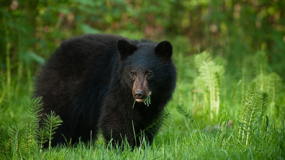 9 Ways to Judge Bear Size, Age in the Field