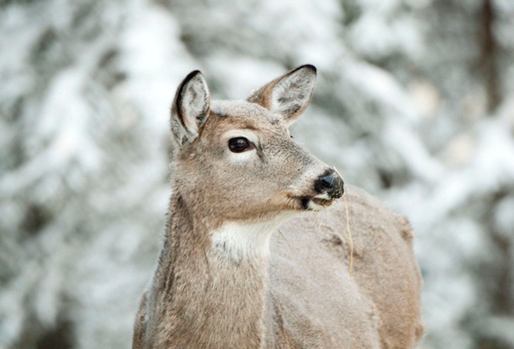 Q & A: How Do Deer Survive Harsh Winter Weather | Grand View