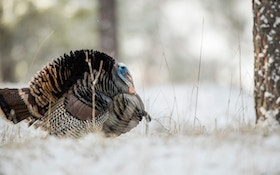 Wild Turkey Verses the Common Thanksgiving Day Turkey