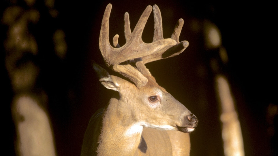 Hunting Deer in Velvet: Tennessee Becomes the Latest to Adopt an Early-Hunting Period