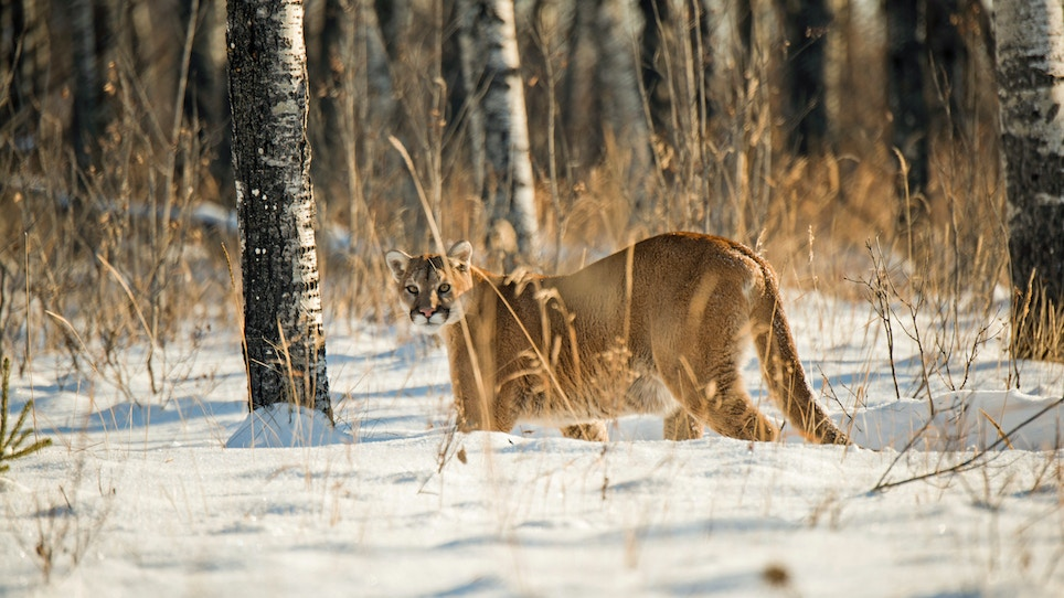 Here's Why Predator Hunters Should Eat More Cougar
