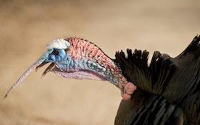 Top 10 Wild Turkey Facts