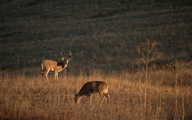 Hunt Science: Do Whitetail Bucks Really Use Seven Scent Glands?