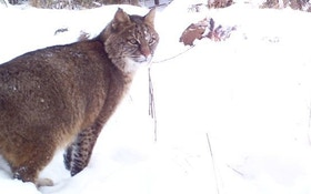 Michigan Bobcat Hunting Update