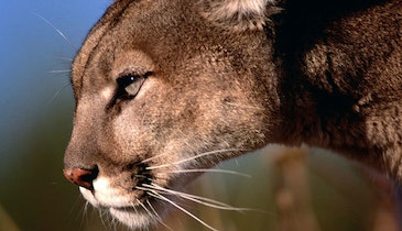 What's Killing Mountain Lions Near Yellowstone? The Plague