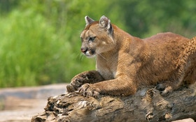 North Dakota Lowers Mountain Lion Quota