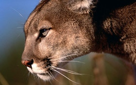 Nebraska Approves Mountain Lion Season in 2020
