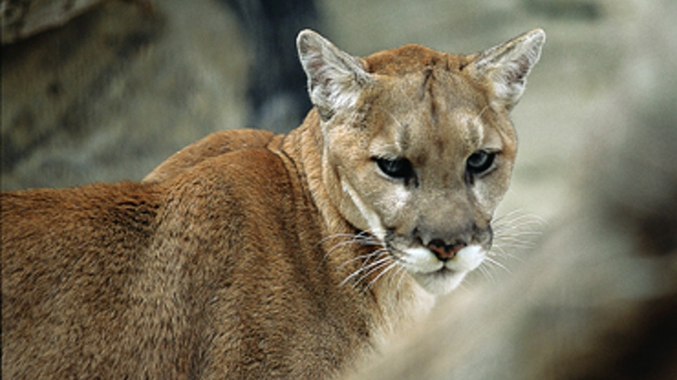Eastern Nebraska Police Say Public Reports Seeing Cougar