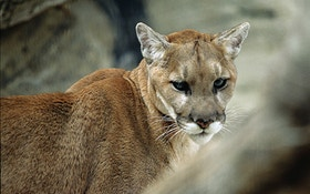Nebraska Officials: No Mountain Lion Hunting In 2016