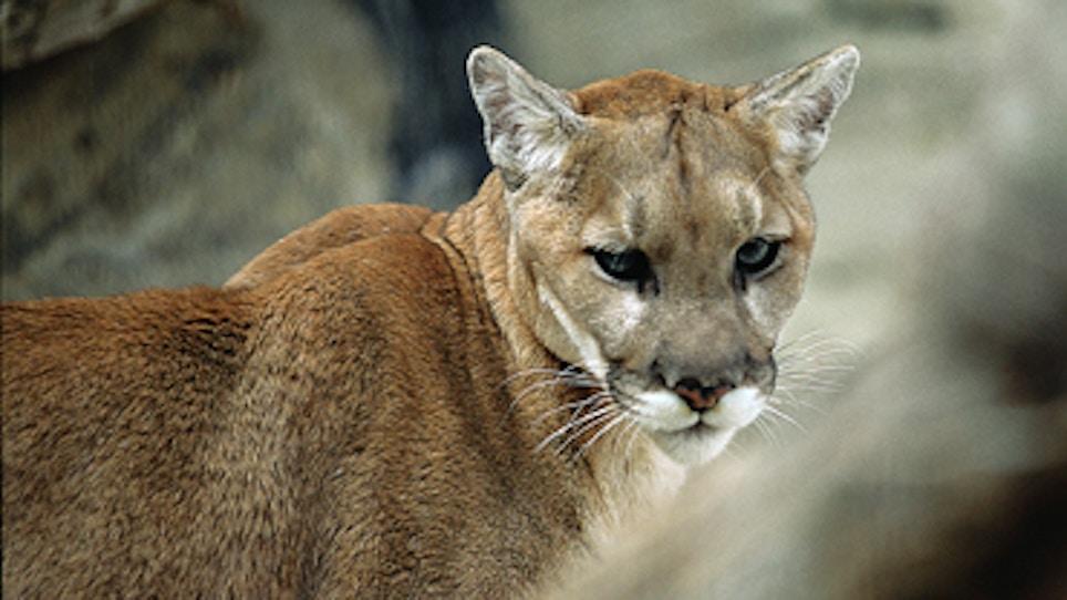 Nebraska Officials: No Mountain Lion Hunting In 2016