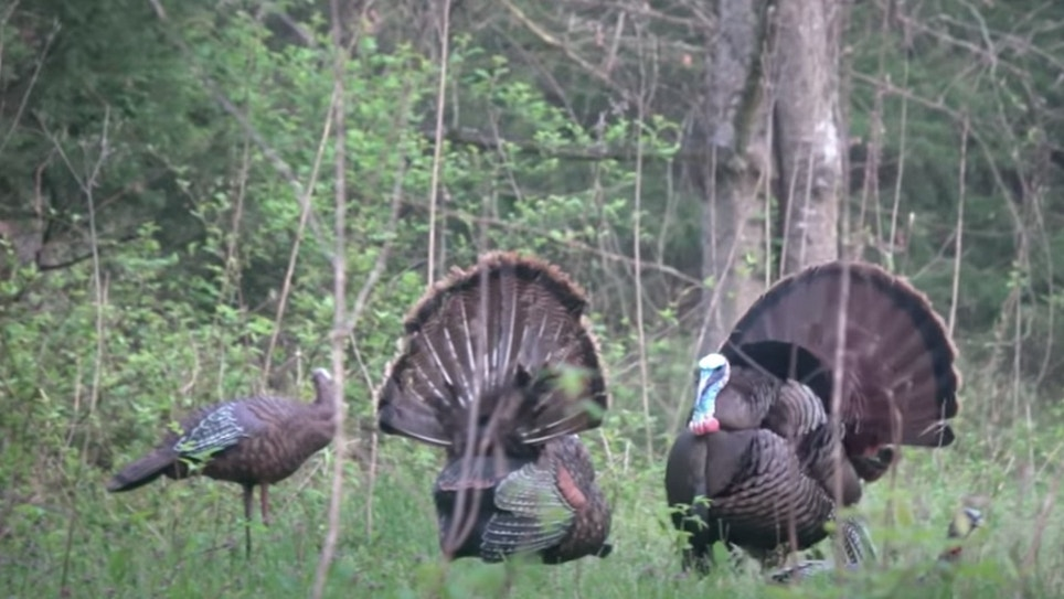 Must-See Turkey Hunting Video: Gobbler vs. Decoy (and Decoy Wins!)