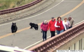 VIDEO: Mama Bear Chases Tourists At Yellowstone