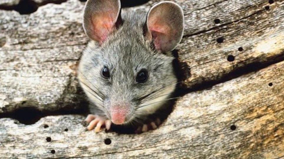 Beware Of Pack Rats!