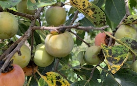 Boost Whitetail Nutrition With Persimmon Trees