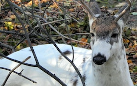 Piebald Whitetail Deer Confused for Calf in Wisconsin