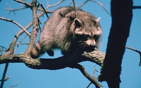 Raccoon Hunting with Predator Calls