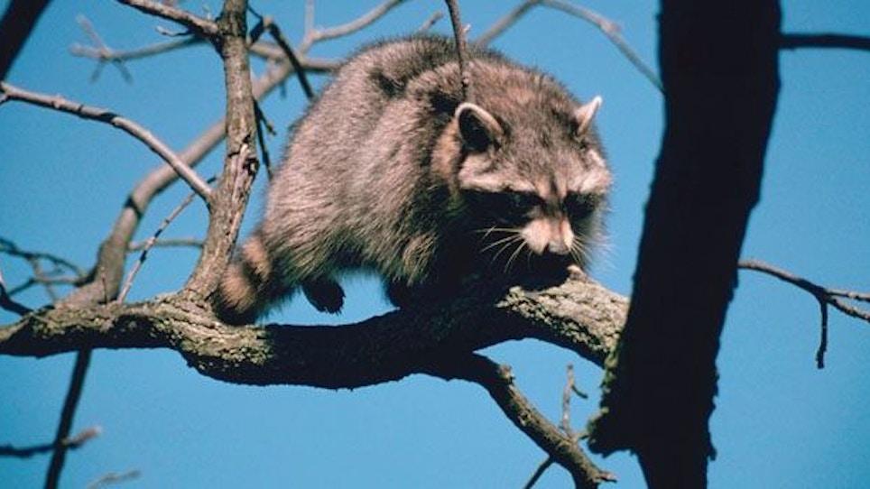 Raccoon Hunting with Predator Calls