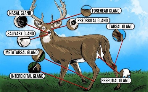 Whitetail Glands. Illustration: Realtree