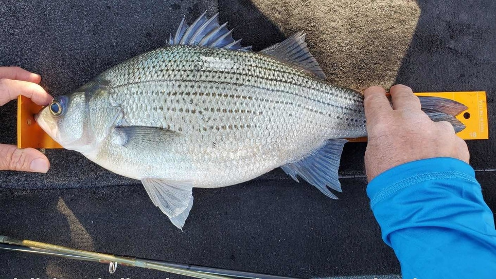3.4-Pound White Bass Caught in O.H. Ivie Reservoir in Texas