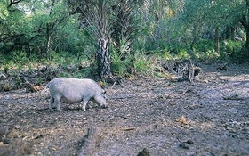 Hog Hunting Seminole Country—Part 2